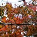写真: モミジと桜~