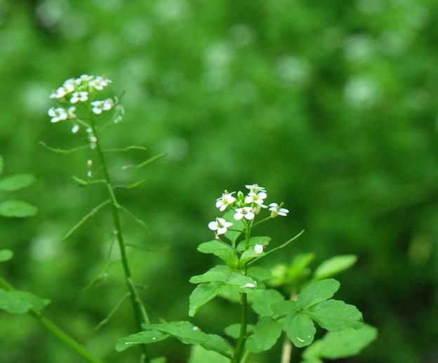 水辺に咲くクレソンの花