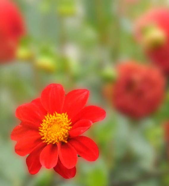 写真: ガーデンダリア