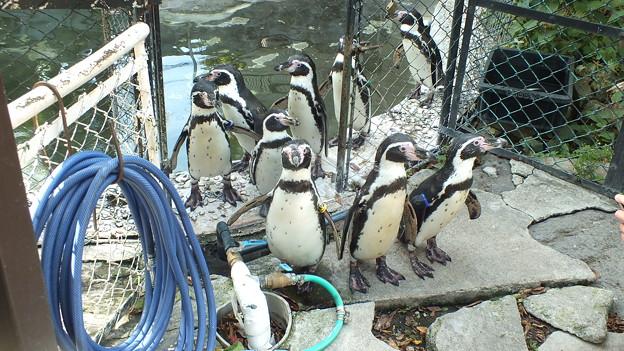 フンボルトペンギン3