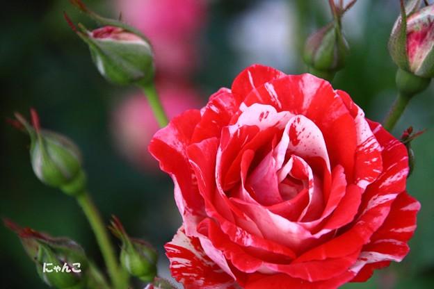 写真: ~バラなる花は恋の花~