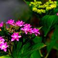 妖艶な紫陽花
