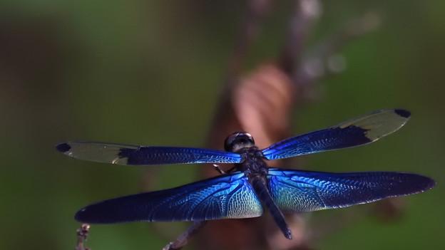写真: 碧い翼