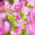 写真: 秋海棠乱れ咲