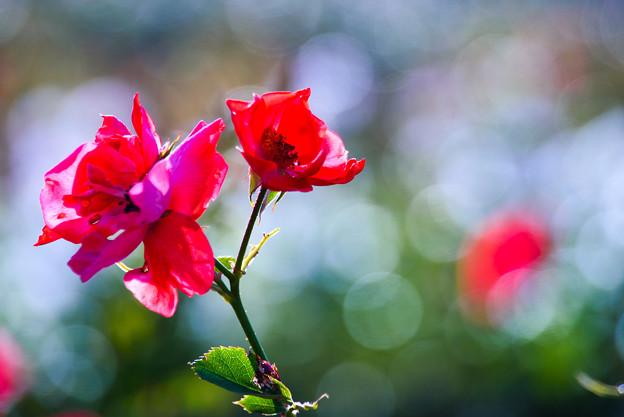 写真: 老薔薇