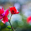 Photos: 老薔薇