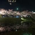 写真: 夜櫻映