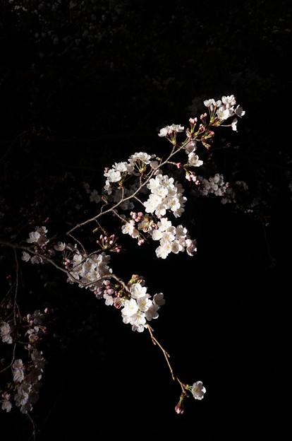 写真: 夜˙櫻