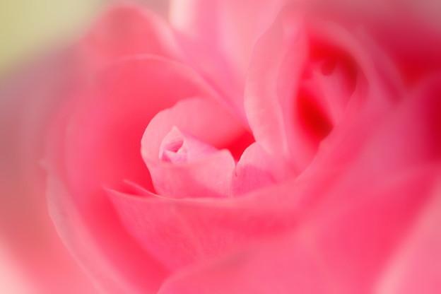 薔薇が咲いた