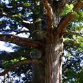 写真: 春野町の杉の木