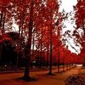 写真: メタセコイア並木の夕暮れ7