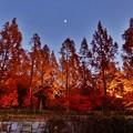 写真: メタセコイア並木のライトアップ 3