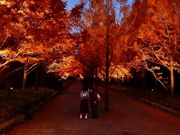 写真: メタセコイア並木のライトアップ 2