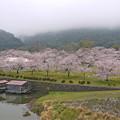桜の錦帯橋。曇り・・・(8)