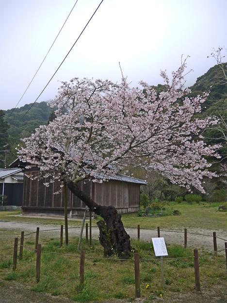 Photos: 錦帯橋・全国で二番目に古い(と思われる)染井吉野