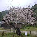 錦帯橋・全国で二番目に古い(と思われる)染井吉野