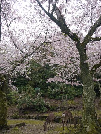 宮島・桃林の桜(4)