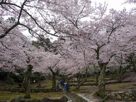 宮島・桃林の桜(3)