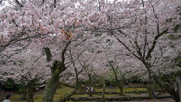 宮島・桃林の桜(1)
