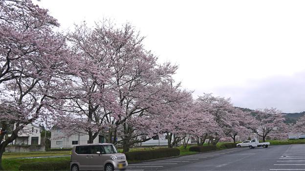 白竜湖スポーツ村公園の桜(2)