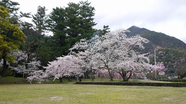 出雲大社(5)勢溜右手の桜