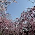 舞鶴公園の桜(15)'