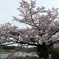 Photos: 志高湖の桜(3)