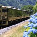 写真: 紫陽花とスイーツトレイン『或る列車』