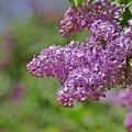 写真: 札幌の花