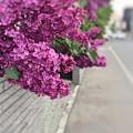 写真: もう一度ライラック、恋紫