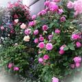 写真: 華やかに咲き桜のように散る