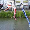写真: 鯉のぼり03