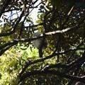 写真: フクロウ11