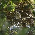 写真: フクロウ43