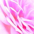 ~薔薇の歌~