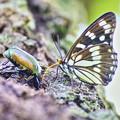 ~蝶と黄金虫(蔵出し)