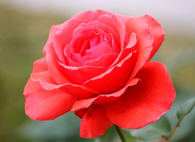 a~Autumn Rose~