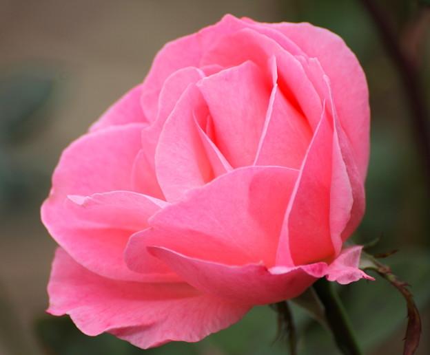 b~Autumn Rose~
