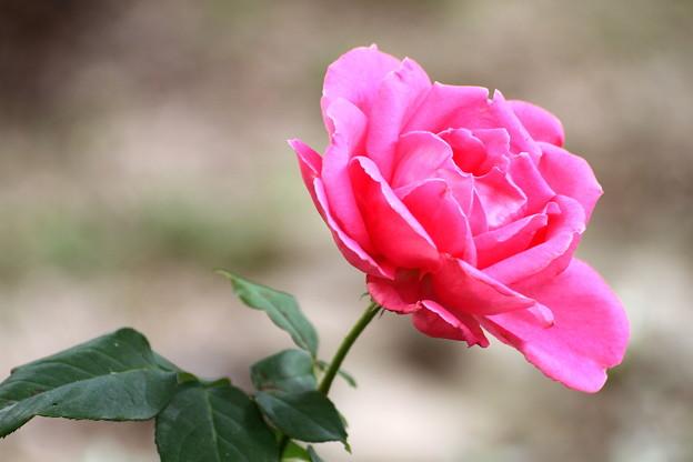 d~Autumn Rose~