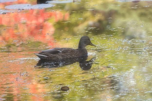 写真: 秋の中を泳ぐ