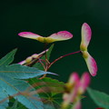 写真: 春のヤマツツジ
