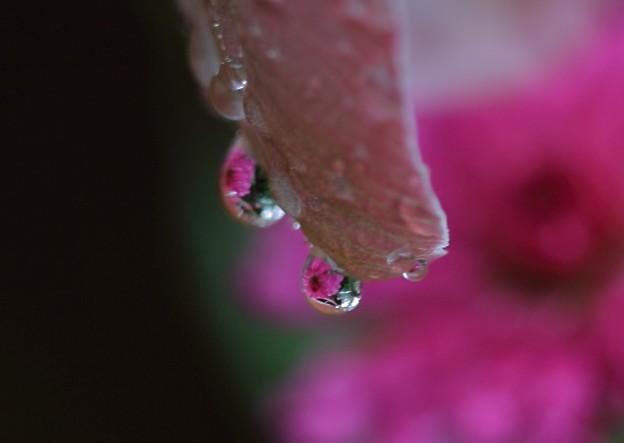 今朝の滴 ミニマーガレット
