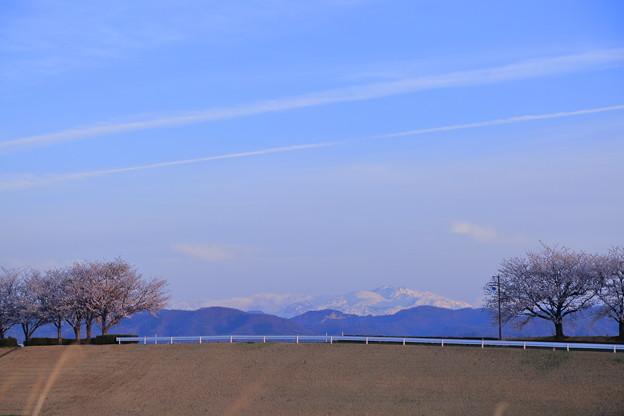 白山と桜並木  飛行機雲