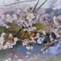 十二ヶ滝 桜(4)