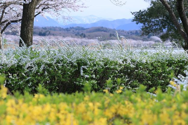 桜 ユキヤナギ レンギョウ 山並み