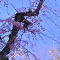写真: 八重紅枝垂れ桜