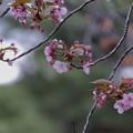 写真: 一重の遅咲きの桜