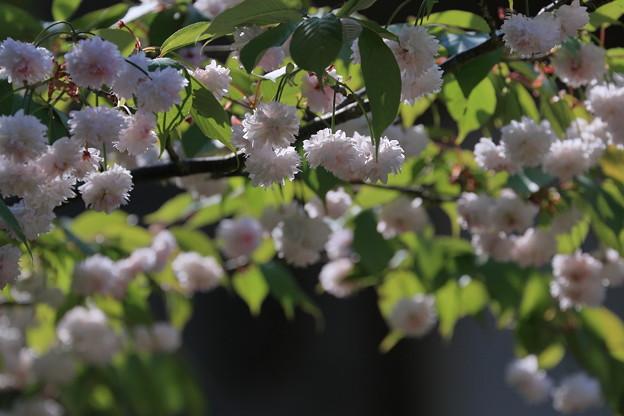 ゼンショウジキクザクラ2 (善正寺菊桜)