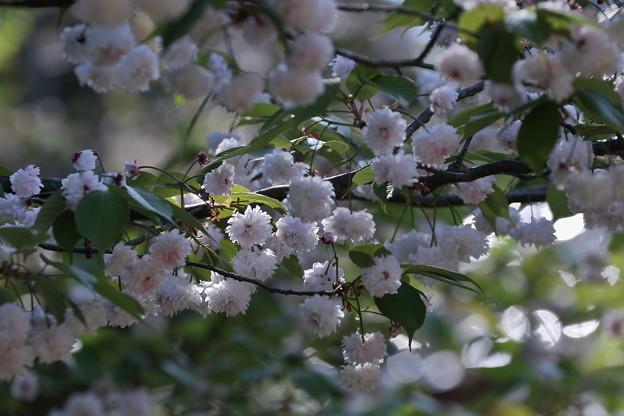 ゼンショウジキクザクラ5 (善正寺菊桜)