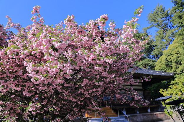 尾山神社の満開の菊桜(1)「ケンロクエンキクザクラ」の子孫にあたる。